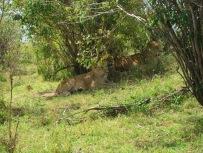 Benschilada Kenia Safari Nairobi (24)